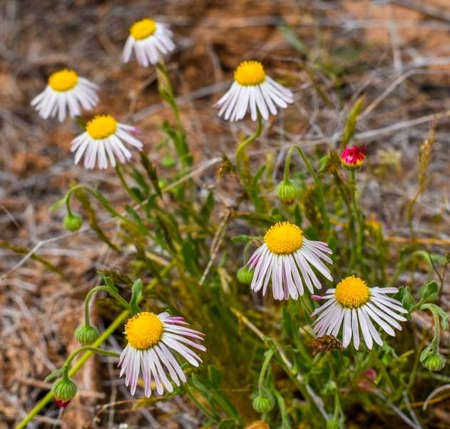 Arizona wildflowers-min