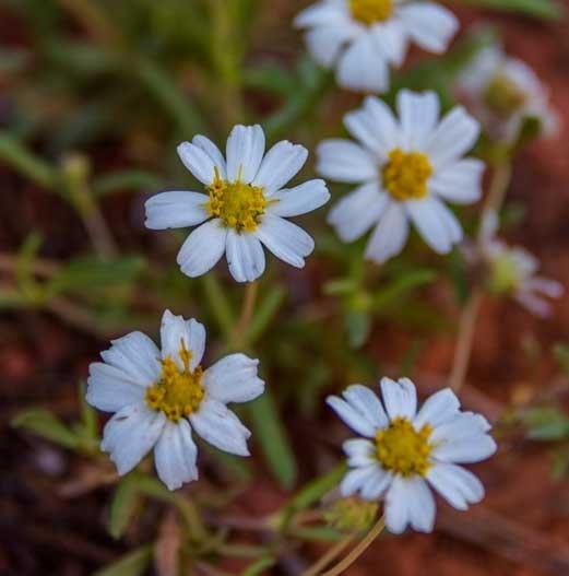 White wildflowers Sedona Arizona-min
