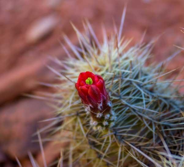 Cactus flower Sedona Arizona-min