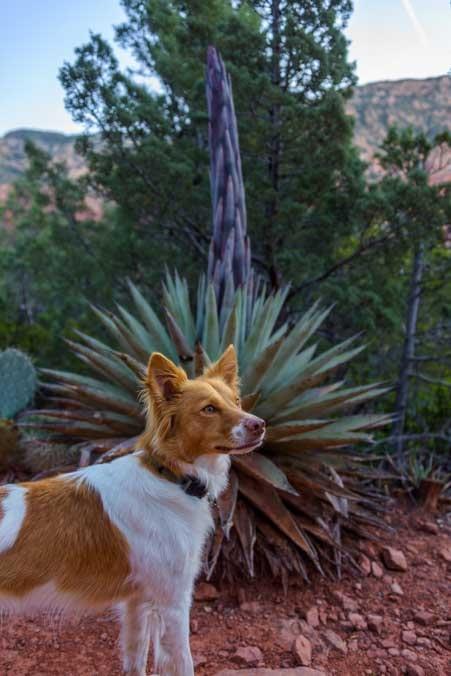 Agave plant and puppy Sedona Arizona-min