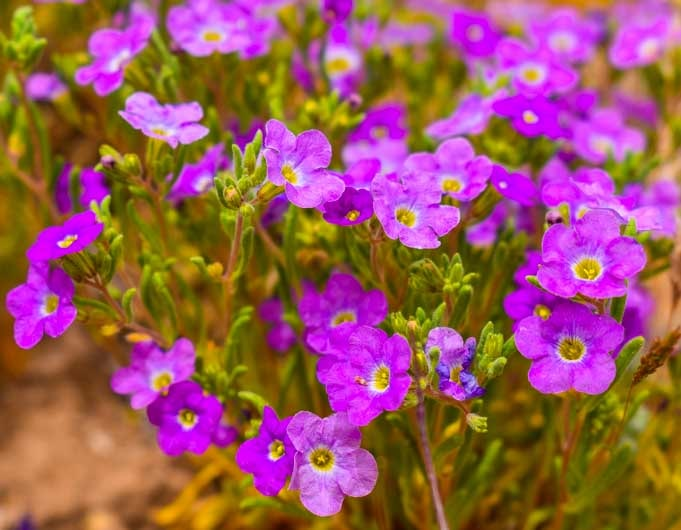 Purple Arizona wildflowers-min