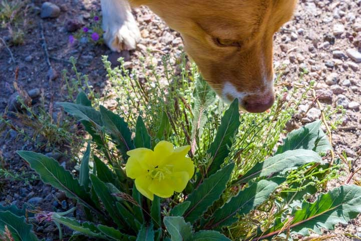 Puppy sniffs wildflowers in Arizona-min