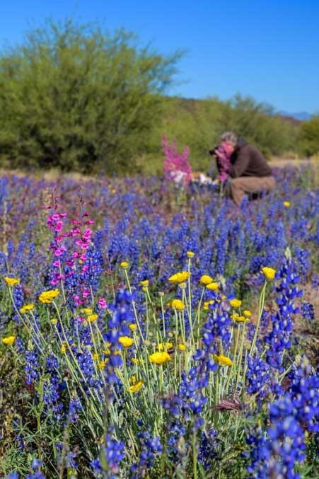 Wildflowers in Arizona spring-min