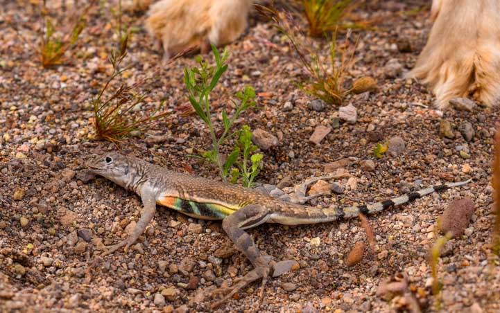 Lizard with colorful belly Arizona-min