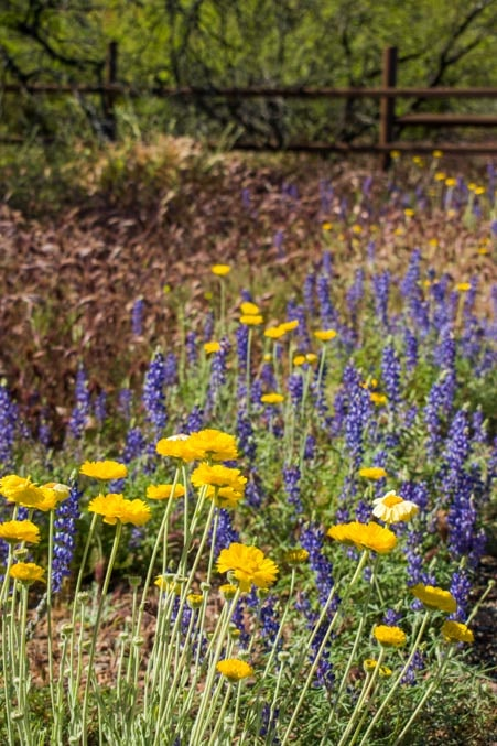 Wildflowers in Arizona-min