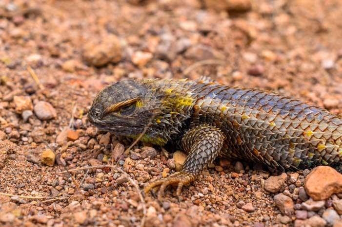 Lizard in Arizona-min