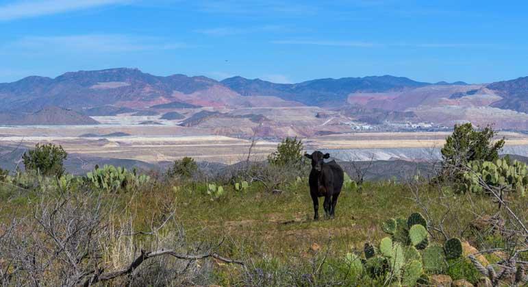 Cow and Copper Mine in Arizona-min