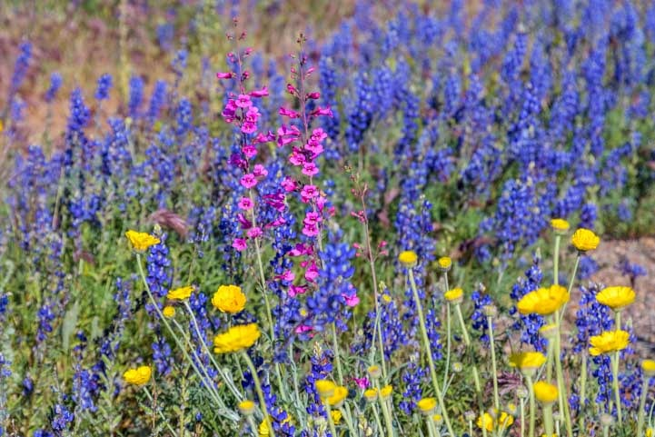Wildflowers in Arizona-min