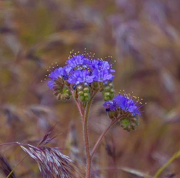 Delicate wildflower in Arizona-min