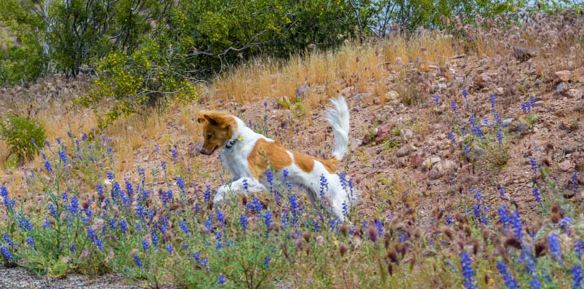 Puppy jumping in the lupine in Arizona-min
