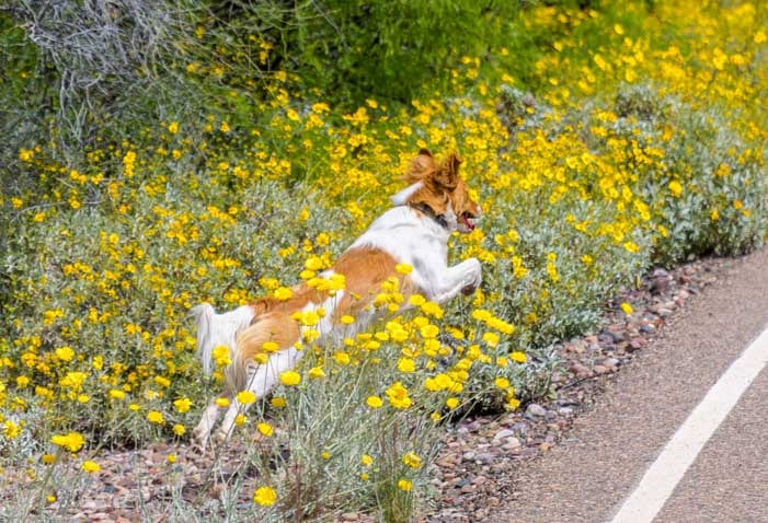 Puppy jumping in the wildflowers in Arizona-min