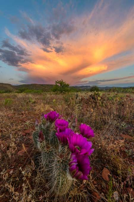 Cactus flowers at sunset-min