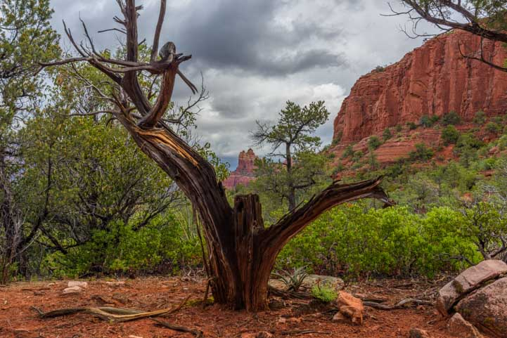 Dead tree and red rocks in Sedona Arizona-min
