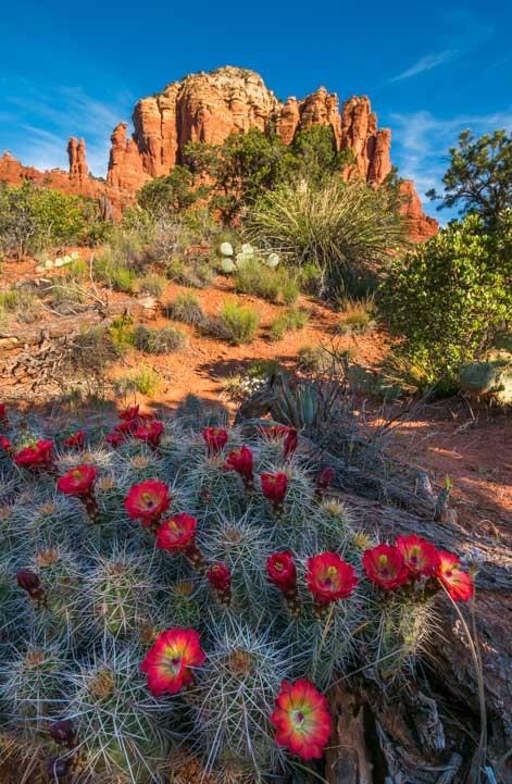 Cactus flowers on Little Horse Trail Sedona Arizona Hike to Chicken Point Overlook-min