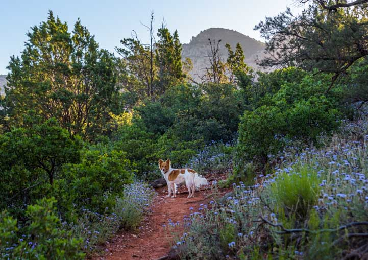 Broken Arrow Trail Sedona Arizona early morning puppy hike in wildflowers-min