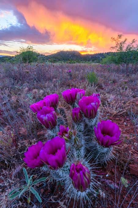 Sunset with cactus flowers Sedona Arizona-min