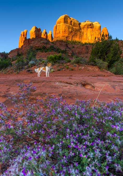 Flowers and puppy at Cathdedral Rock Templeton Hike Sedona Arizona-min