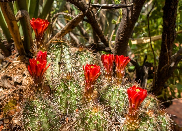 Red cactus flowers-min