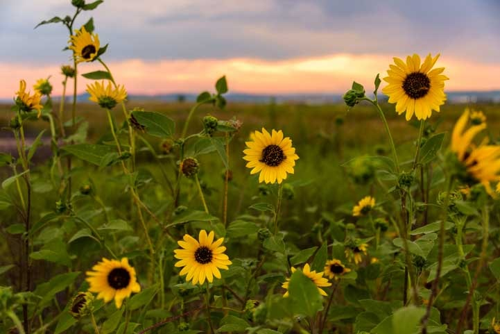 Yellow sunflowers South Dakota-min