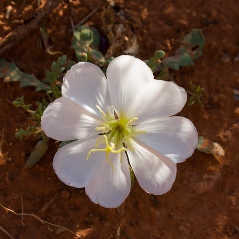 Evening primrose on the hiking trail Sedona Arizona-min