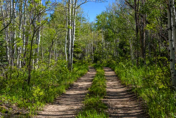 Two track road through aspen trees-min