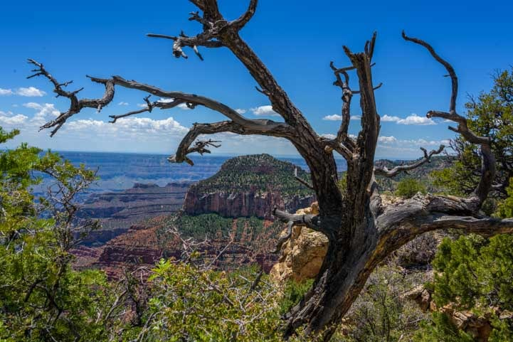 Curvy dead tree Grand Canyon North Rim Arizona-min