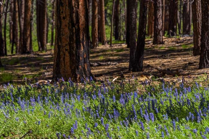 Lupine blooming at foot of scorched ponderosa pine trees-min