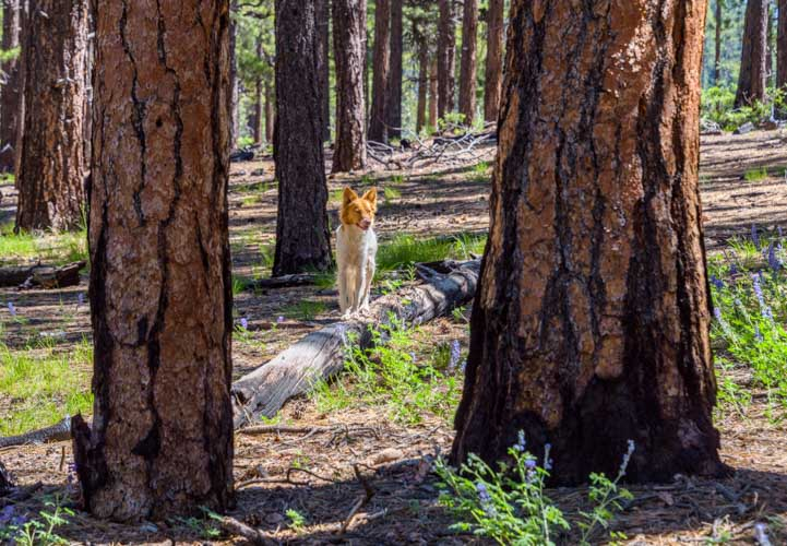Puppy tightrope walks on a log in the ponderosa pine forest-min
