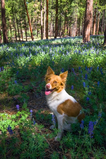 Beautiful dog in lupine wildflowers-min