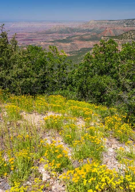 Wildflowers at North Timp Point Grand Canyon-min