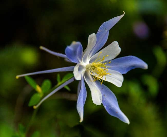 Columbine wildflower at Cedar Breaks National Monument Utah-min