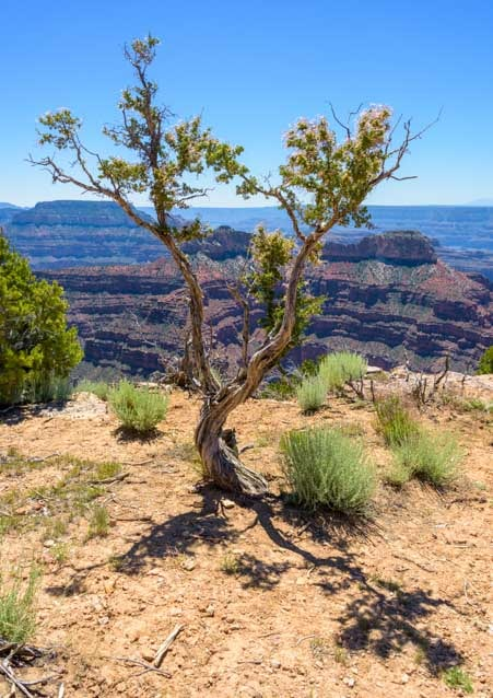 Tree and shadow Point Sublime Overlook Grand Canyon North Rim-min