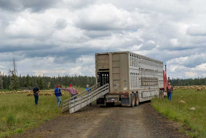 Unloading sheep in Utah-min