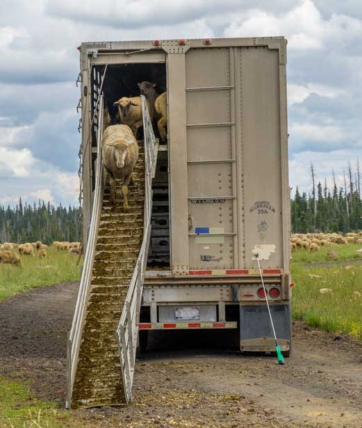 Sheep comes down loading ramp in Utah-min