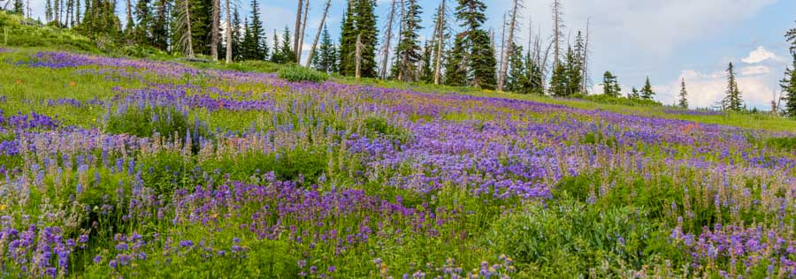 Wildflowers on a hillside Dixie National Forest Utah-min