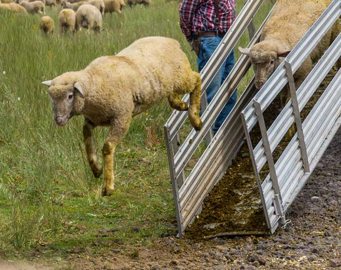 Sheep jumps off loading ramp in Utah-min