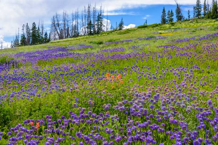 Field of summer wildflowers Dixie National Forest Utah-min