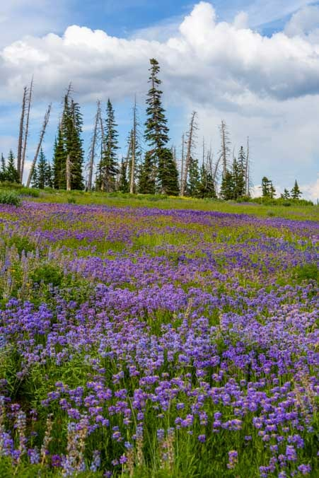 Purple wildflowers near Cedar Breaks National Monument Utah-min