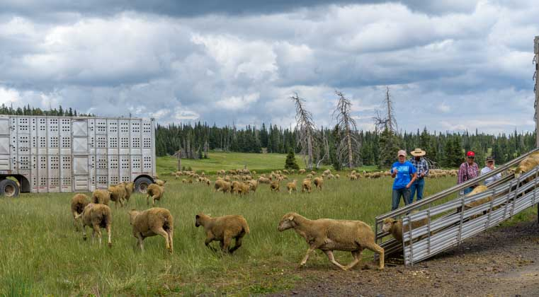 Unloading sheep to pasture in Utah-min