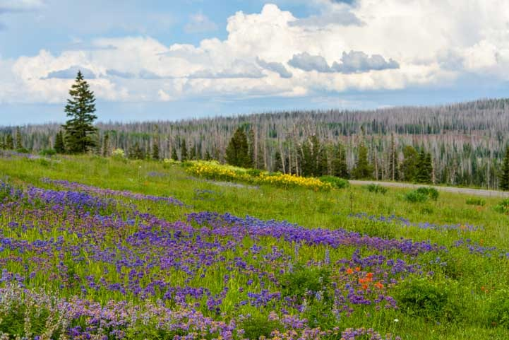 Cedar Breaks National Monument Wildflowers in Utah-min