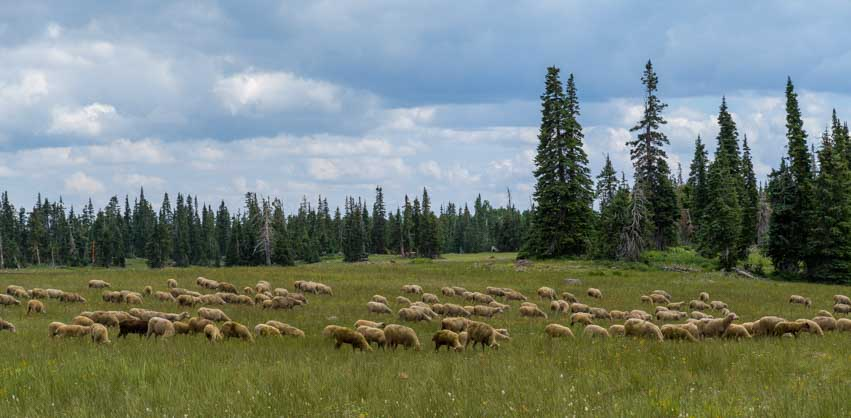 Grazing sheep in Utah-min