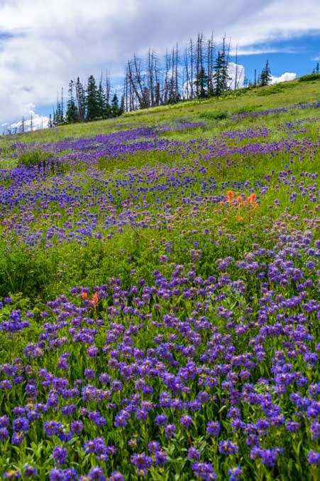 Hillside of summer wildflowers Dixie National Forest Cedar Breaks Utah-min