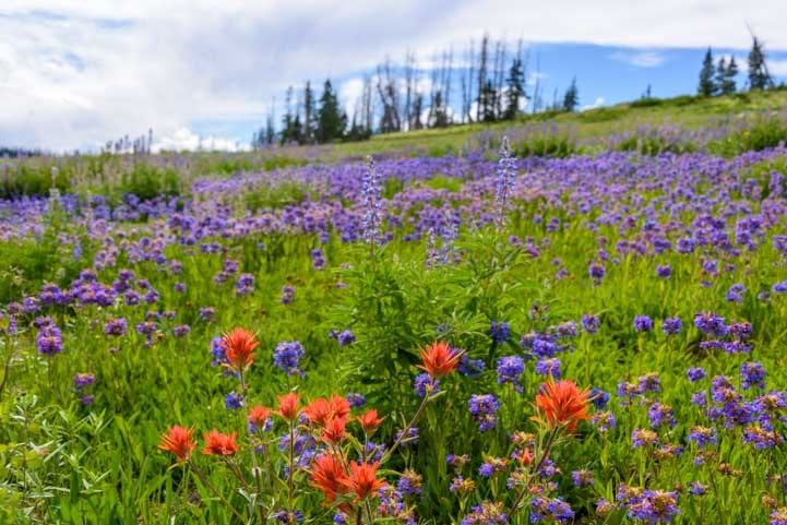 Hillside of summer wildflowers Dixie National Forest Utah-min