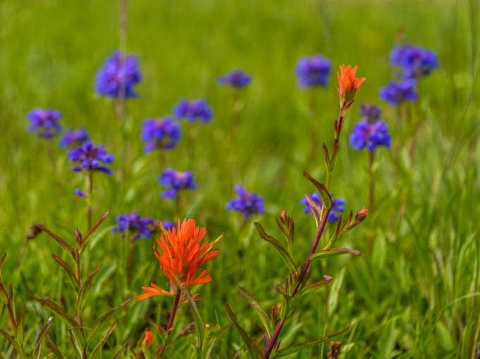 Indian paintbrush and purple wildflowers-min