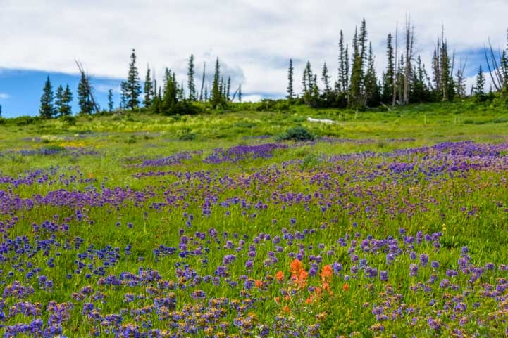 Field of wildflowers Dixie National Forest Utah-min
