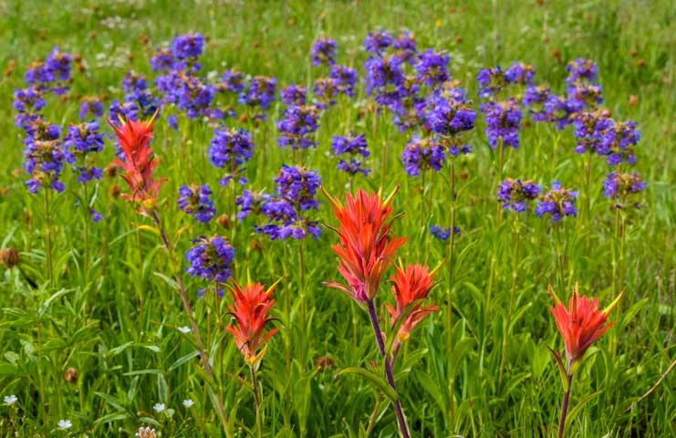 Red and purple wildflowers in Utah-min