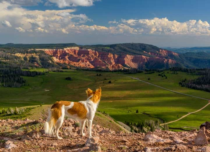 Puppy looks at Cedar Breaks National Monument from Brian Head-min