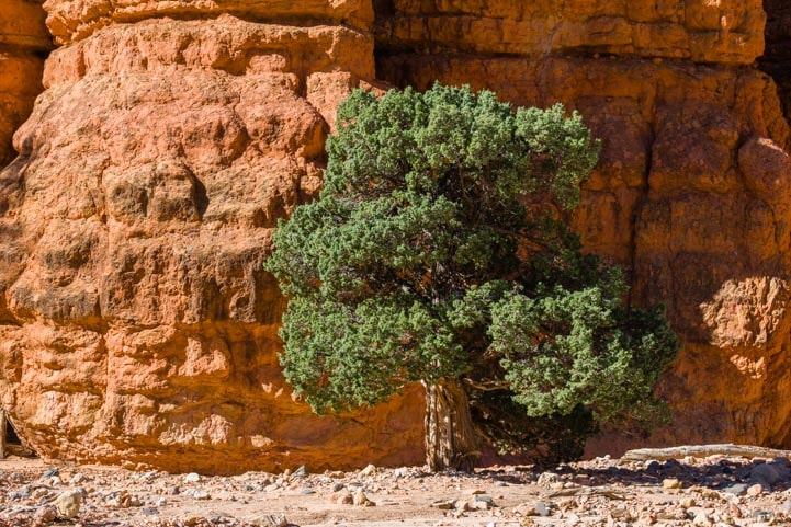 Green tree in the red rocks of Casto Canyon Utah-min