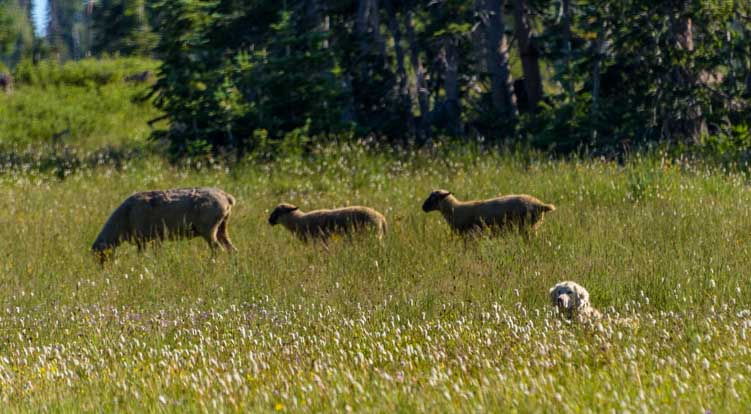 Sheep dog in the grass with sheep-min