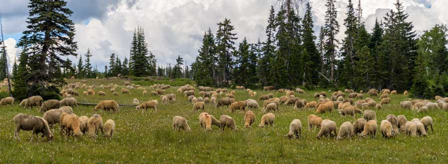 Sheep grazing in Utah-min